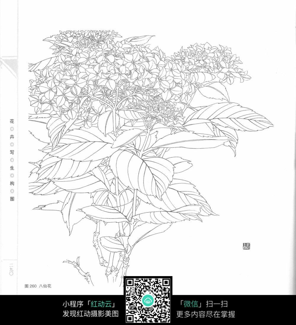 绣球花图片手绘黑白