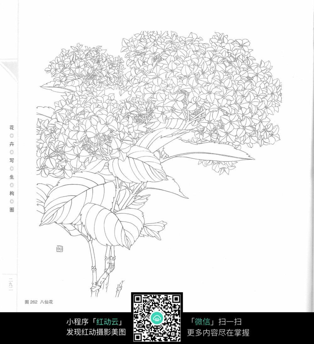 八仙花手绘插图图片