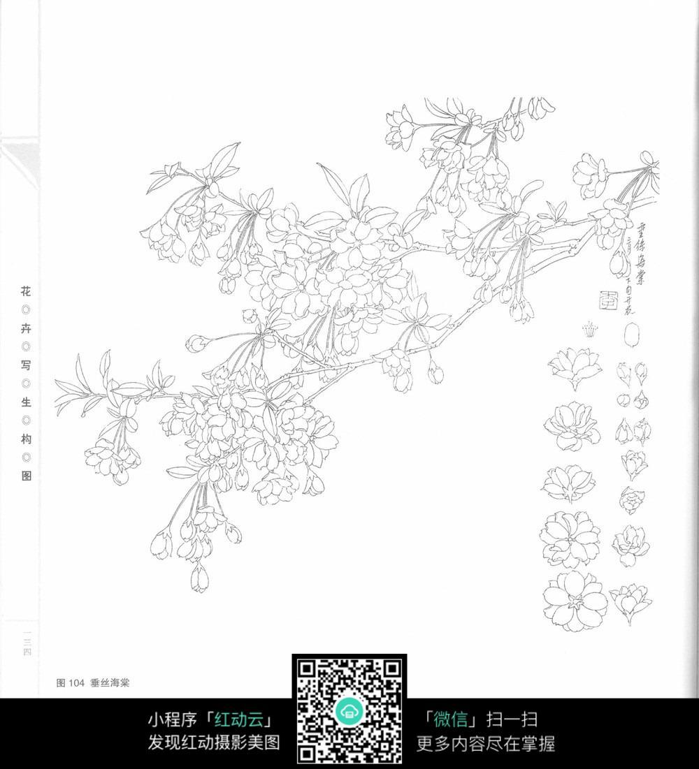 垂丝海棠手绘图