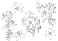 波斯菊写生构图线稿素材图片图片