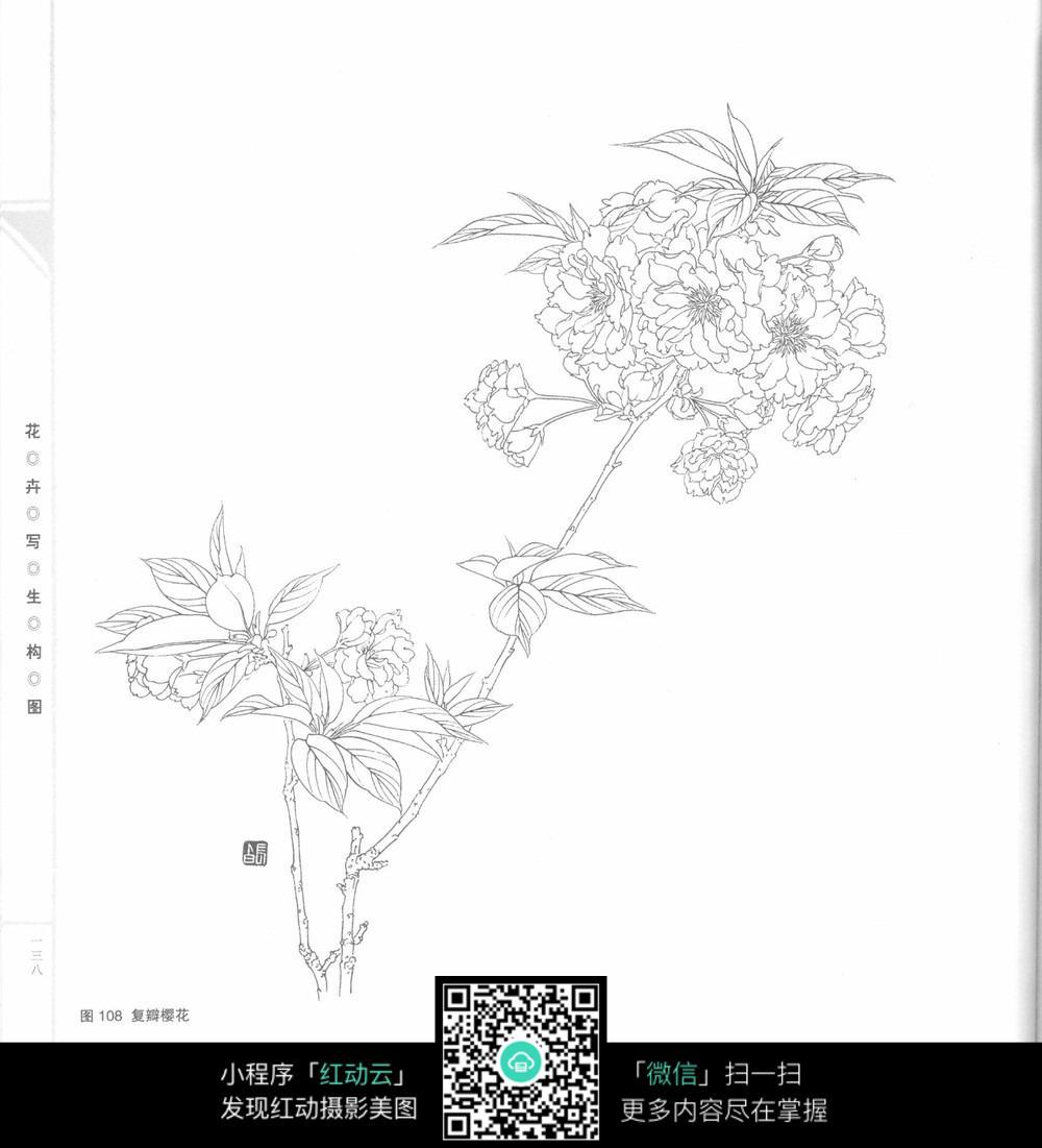 覆瓣樱花插图图片