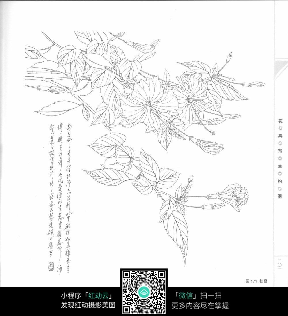 扶桑花工笔线稿_花草树木图片
