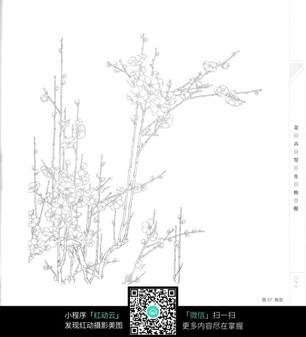 腊梅手绘图_花草树木图片