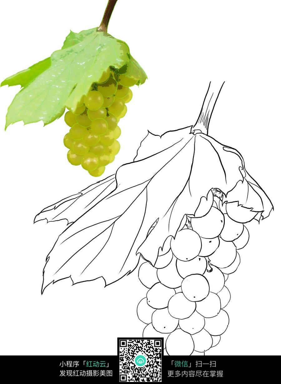绿色葡萄图片和手绘线稿图片