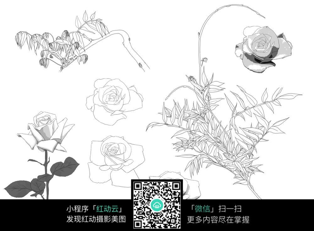 玫瑰花手绘插图图片