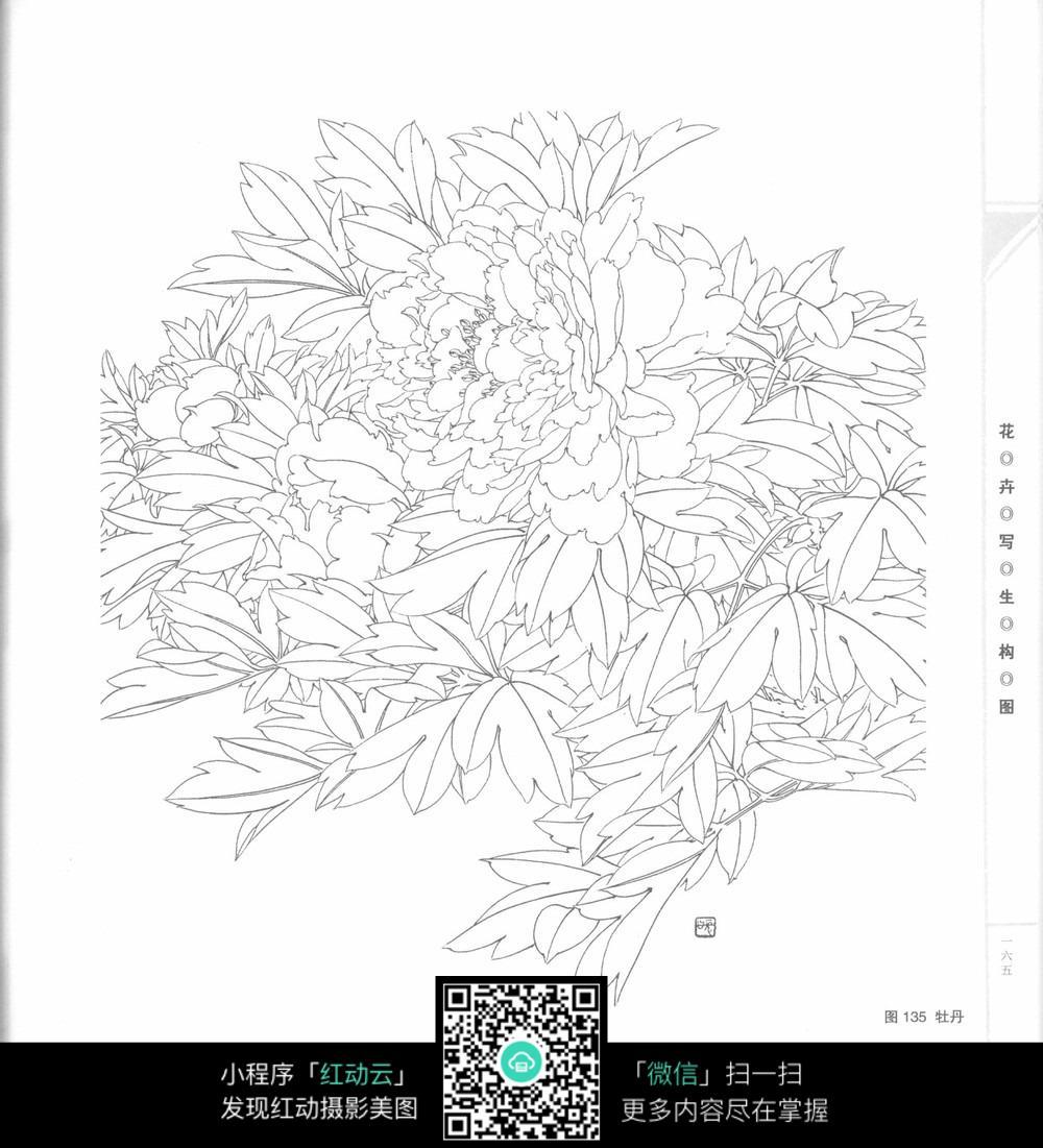 牡丹花黑白插图