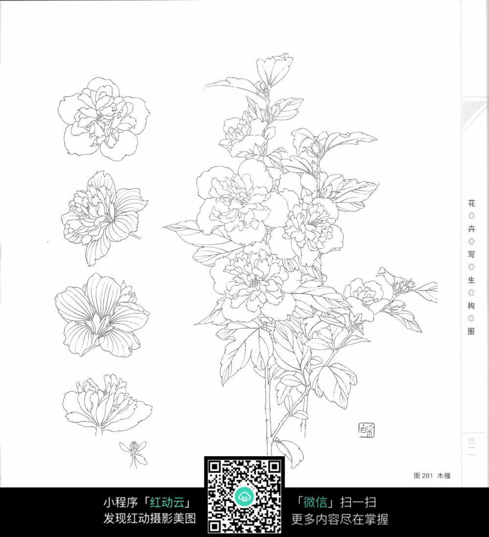 木槿黑白插画