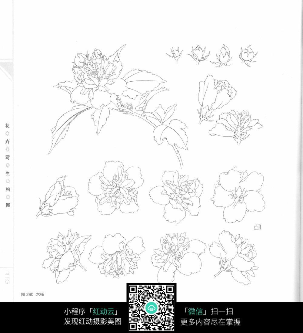 木槿花工笔画