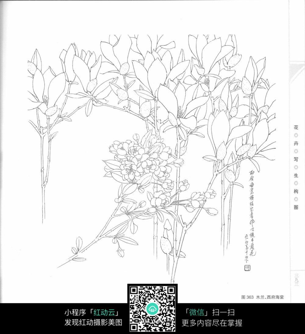 木兰海棠花工笔画