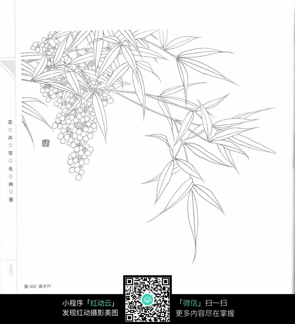 南天竹手绘插图_花草树木图片