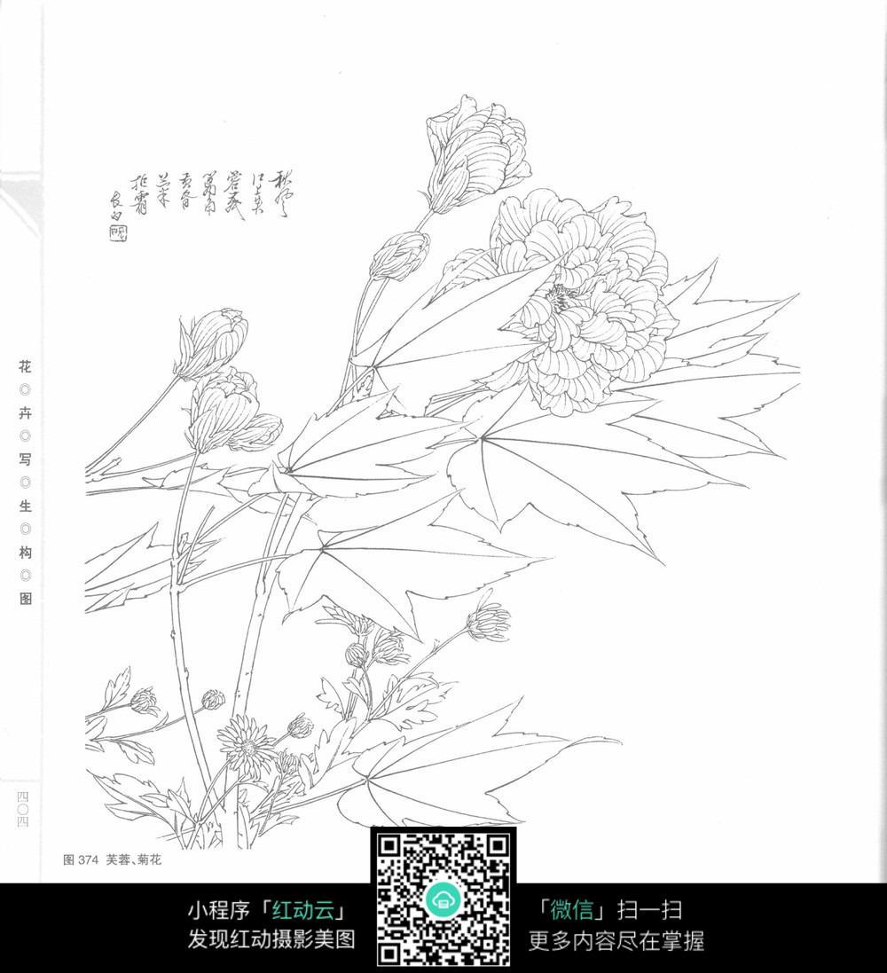 芙蓉菊花工笔画_花草树木图片