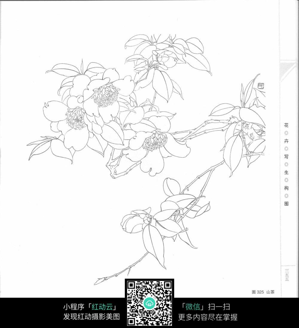 山茶花手绘线稿