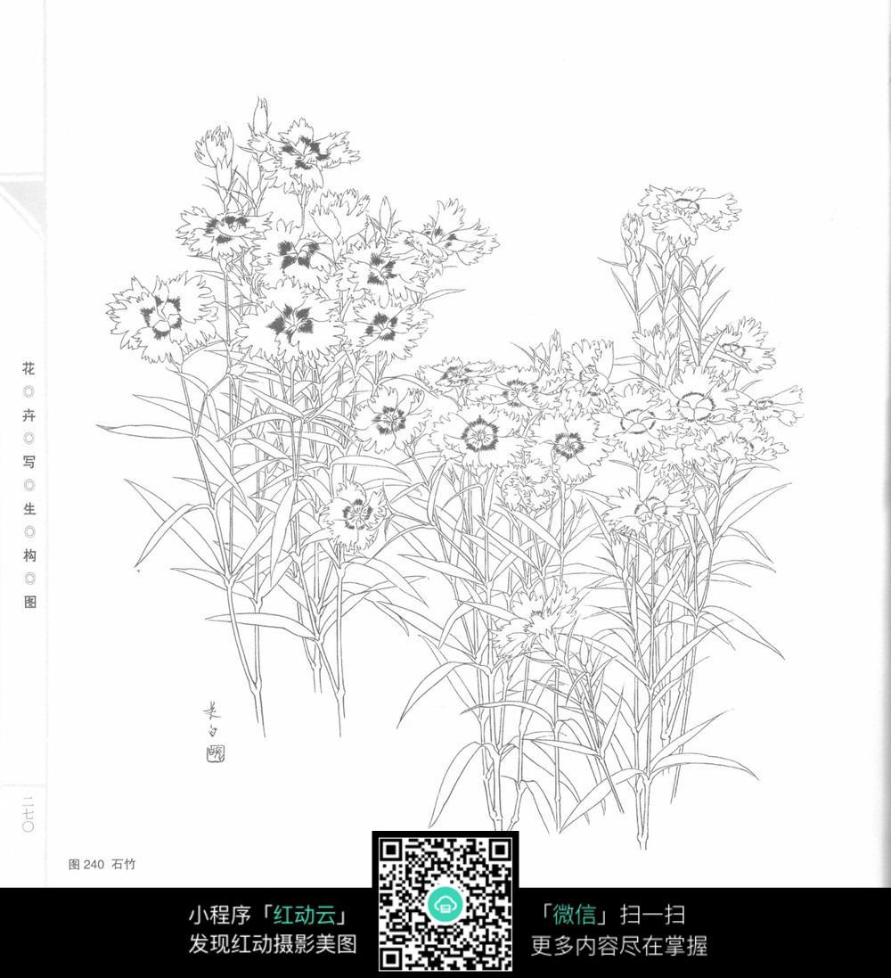 石竹手绘插画_花草树木图片