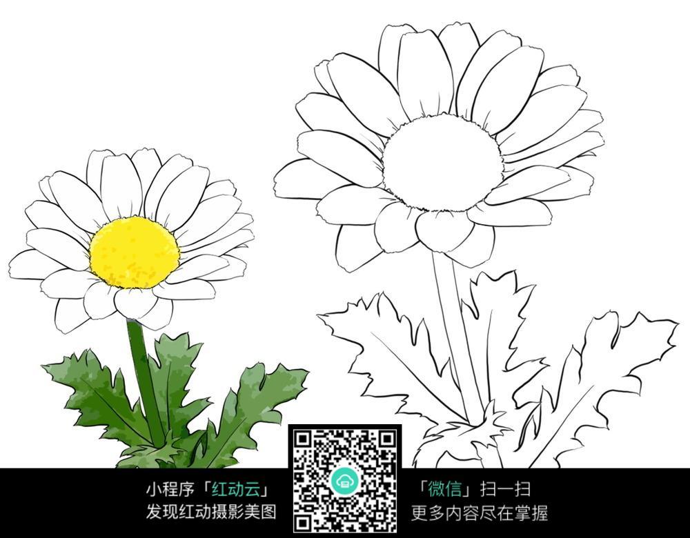 波斯菊手绘图 花草树木图片