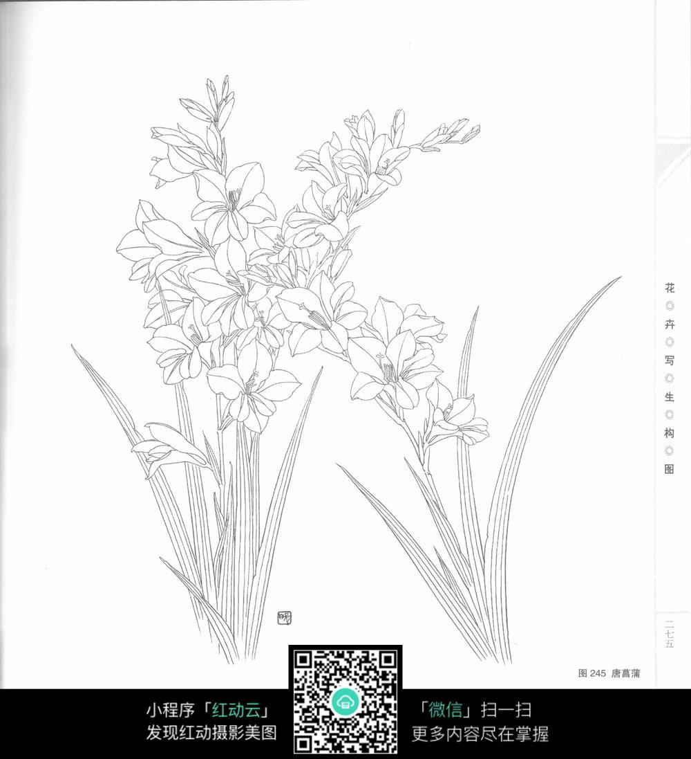 唐菖蒲手绘写生画_花草树木图片