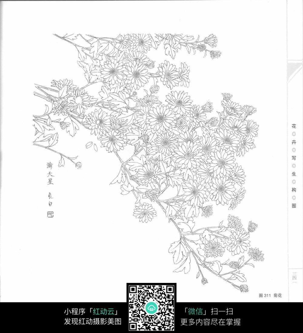 小菊花工笔画图片_花草树木图片