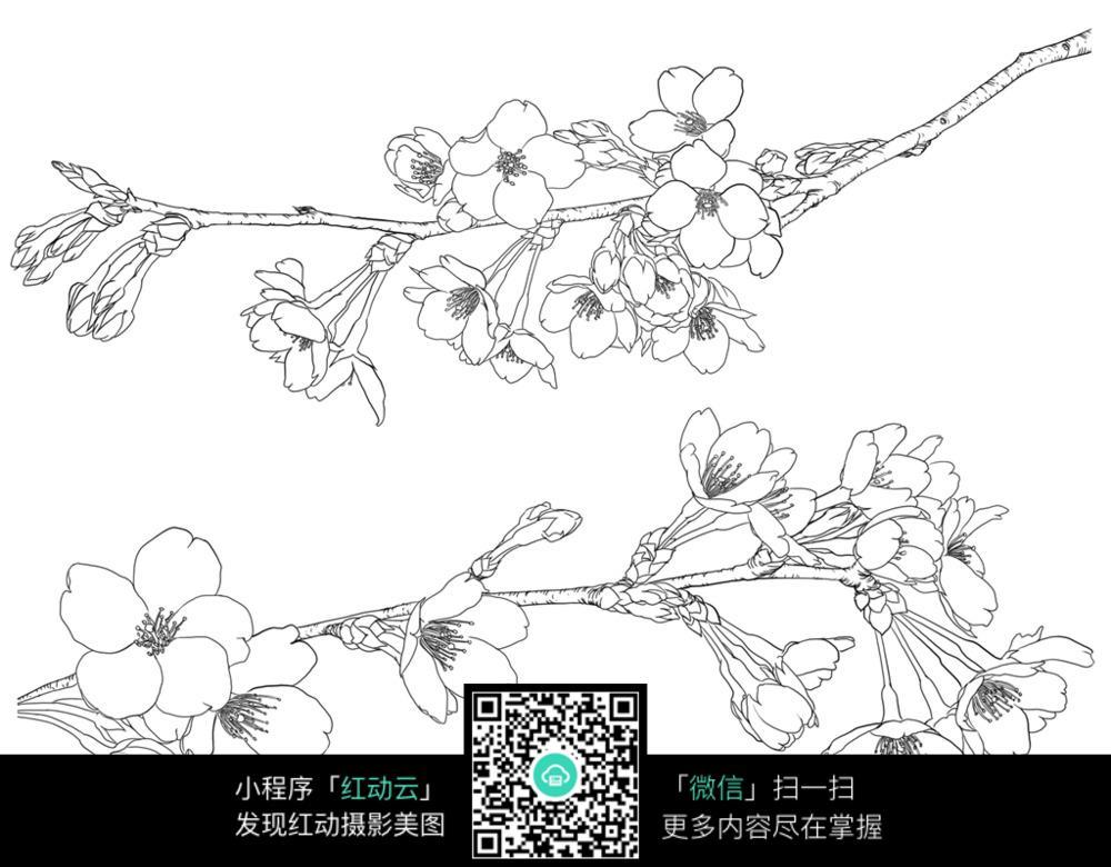 樱花梅花工笔插画图片