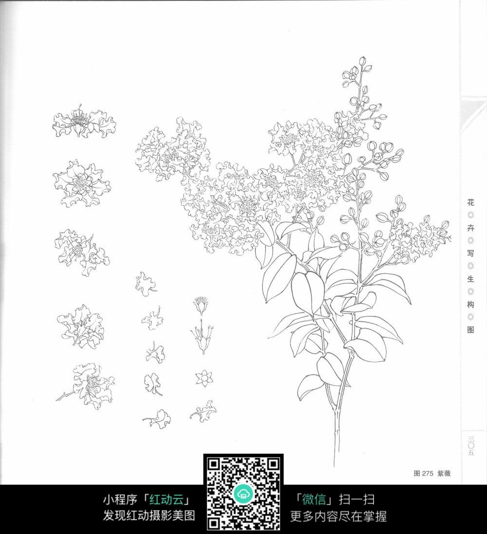紫薇花工笔画