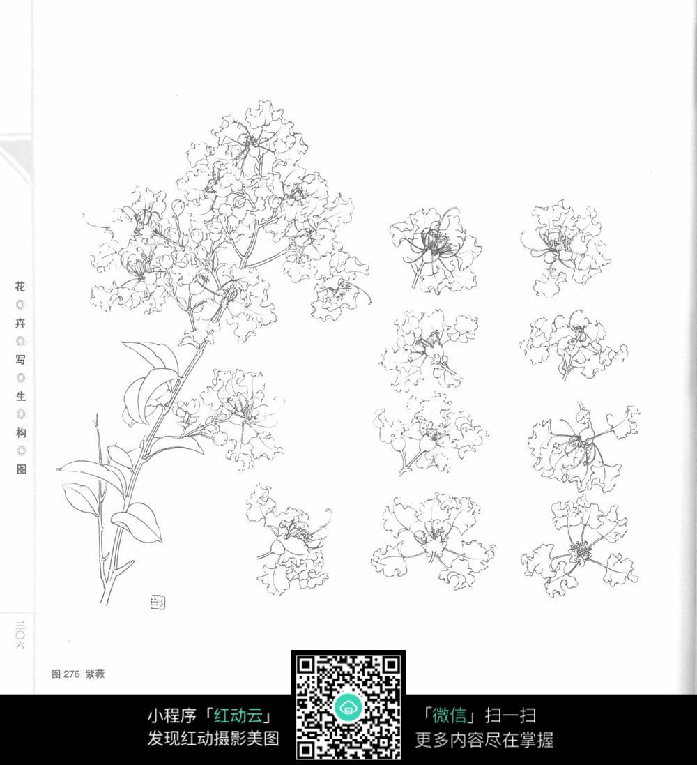 紫薇花手绘插画