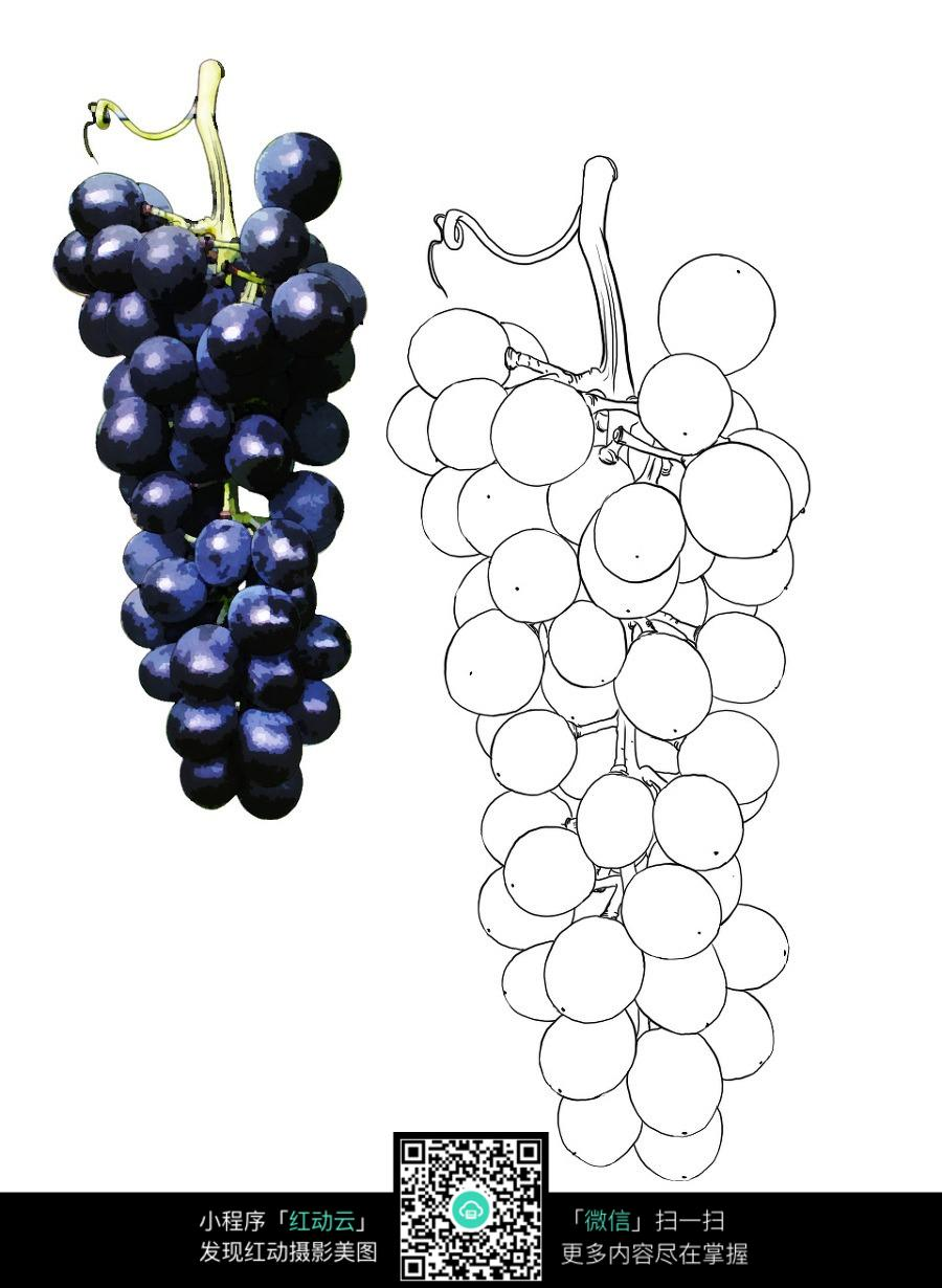 紫色的葡萄图片和手绘线稿_花草树木图片