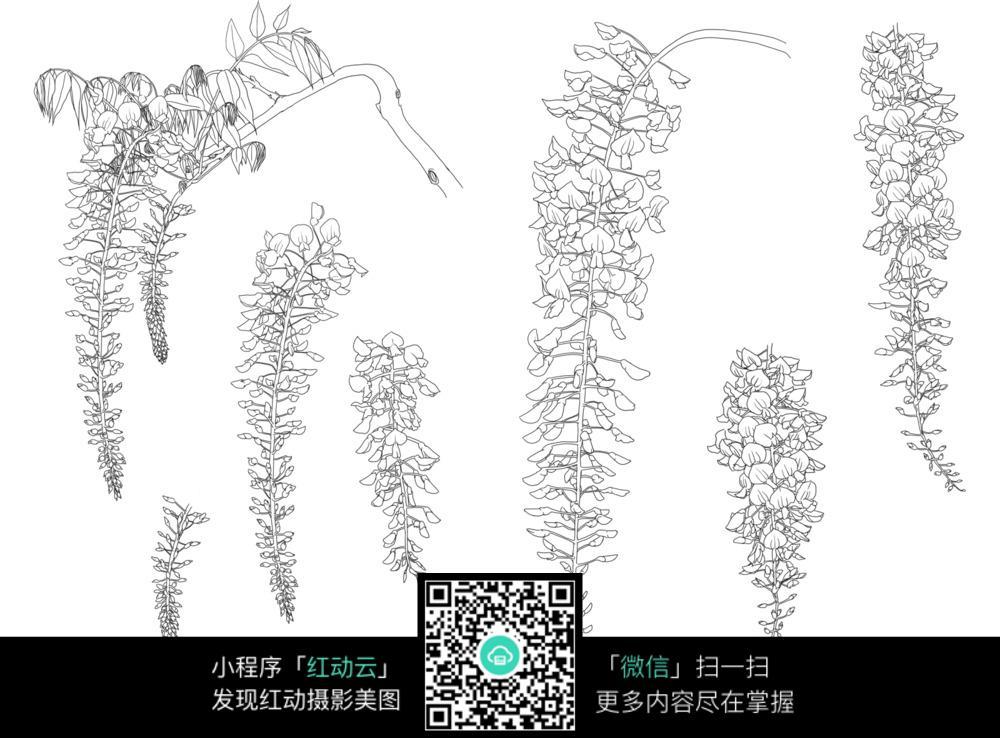 紫藤萝手绘插画
