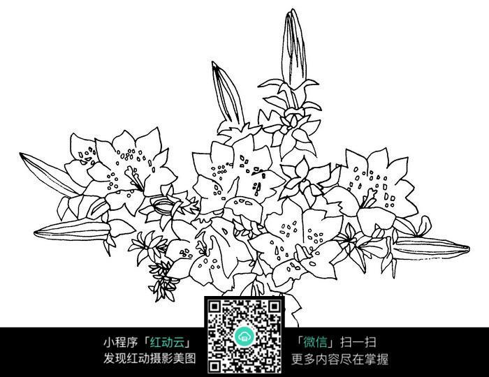 百合花手绘线稿jpg图片免费下载(编号3698558)_红动网