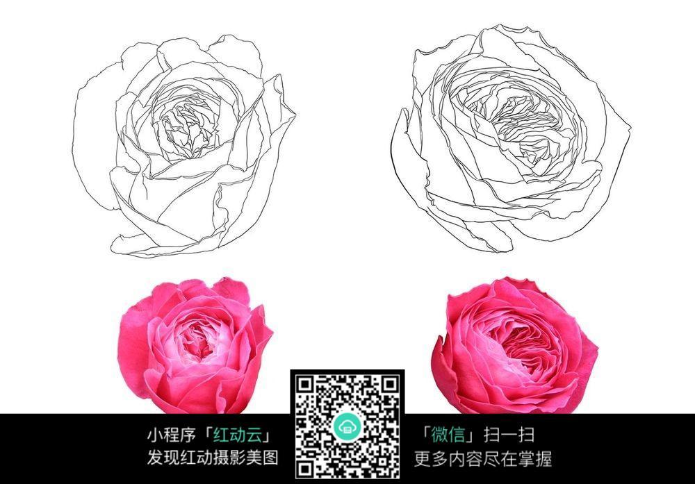 玫瑰花朵手绘线稿jpg