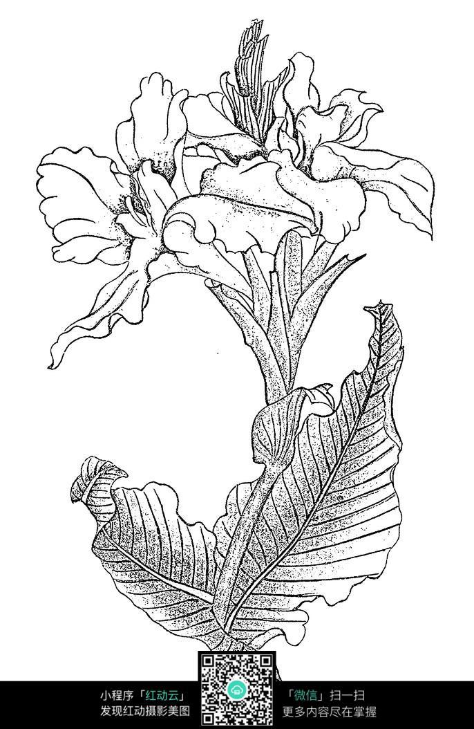 美人蕉手绘线稿jpg