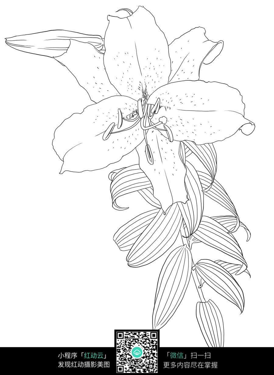 百合花花叶手绘线描