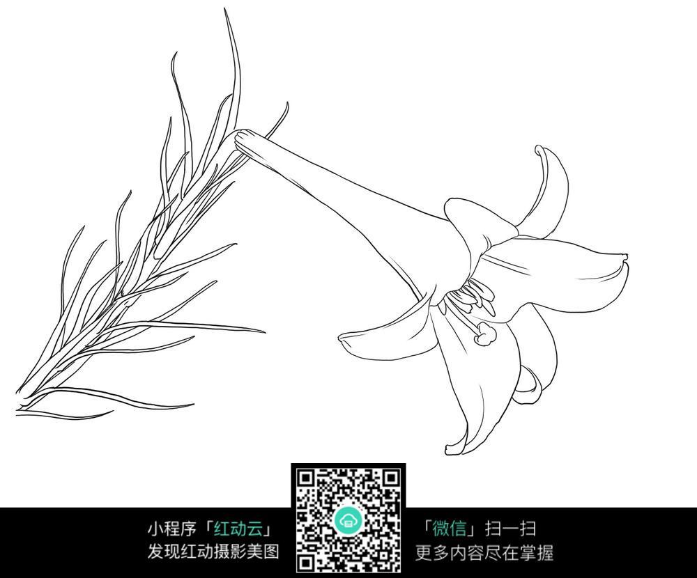 百合花线描线稿手绘图片