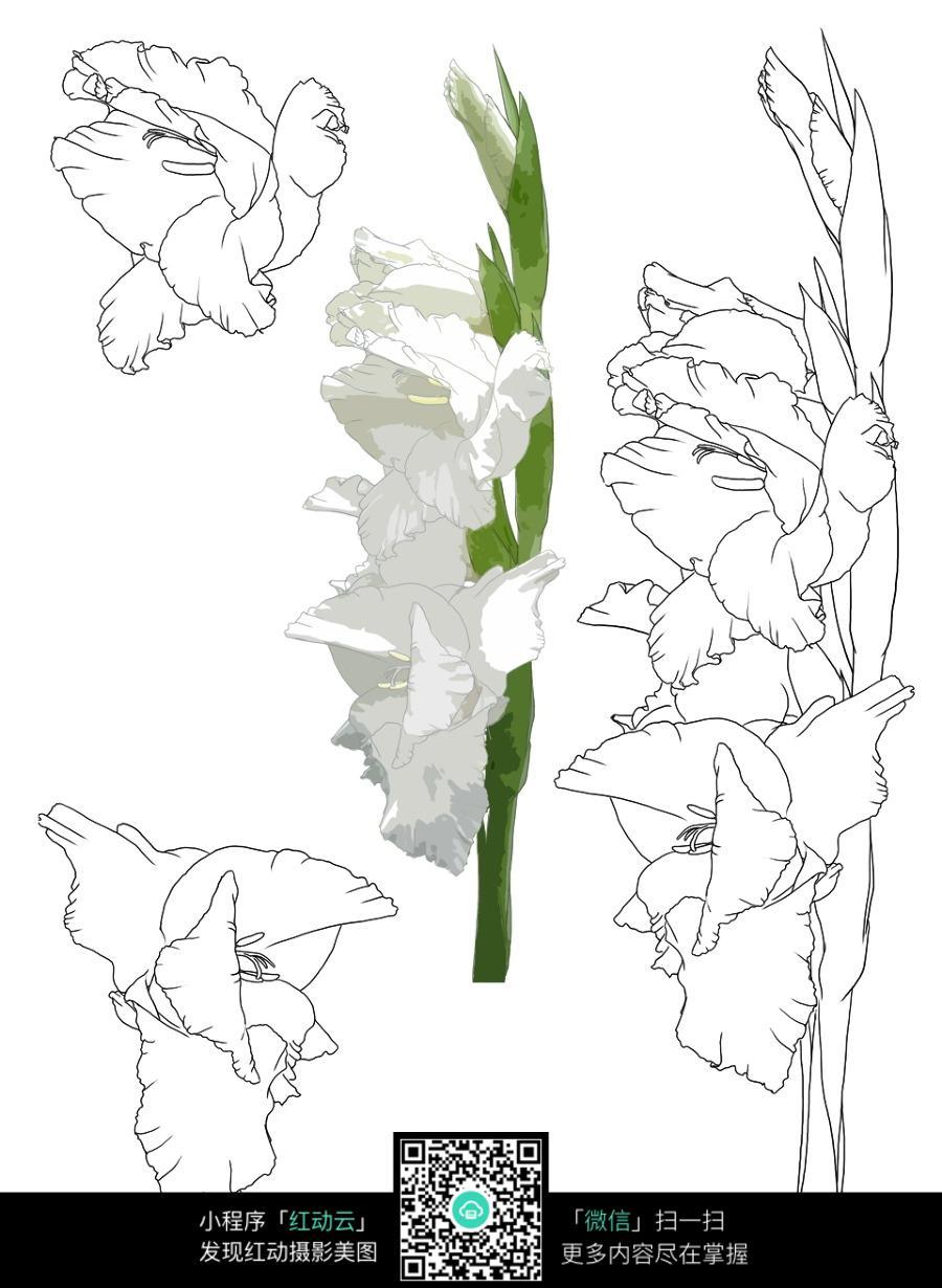 白色剑兰手绘图图片_花草树木图片