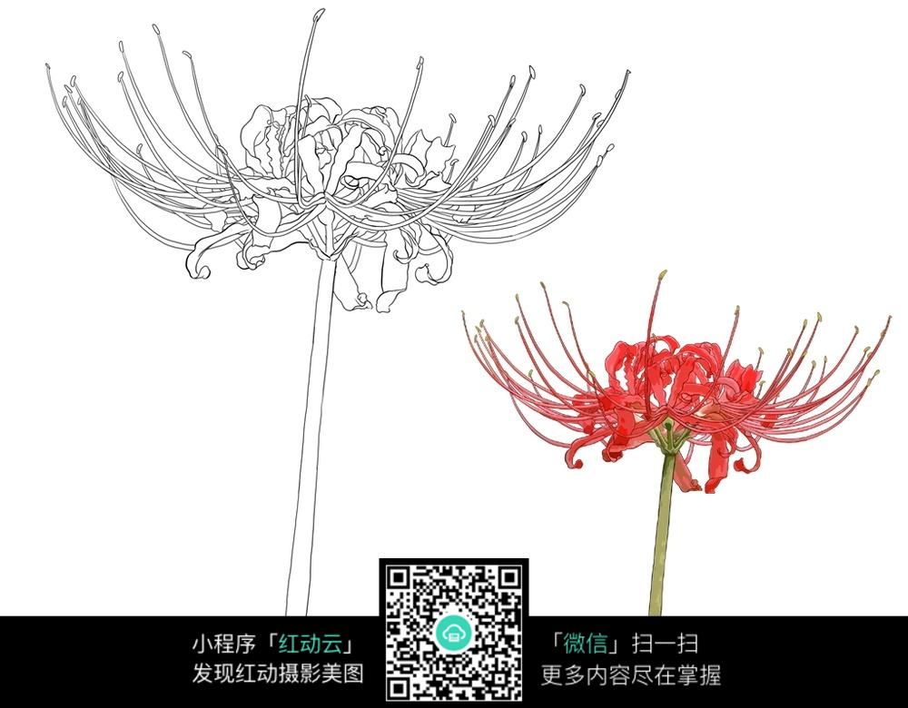 彼岸花花朵花卉线描图片