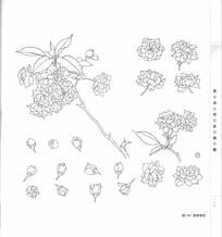 复瓣樱花写生构成线描