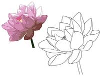 荷花花卉线描