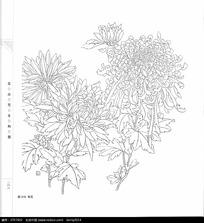 菊花黑白线描手绘
