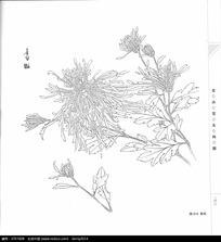 菊花线描手绘