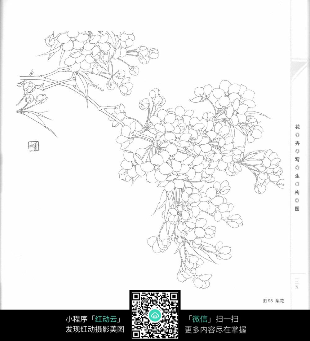梨花手绘线描图片