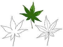 绿色枫叶植物线描