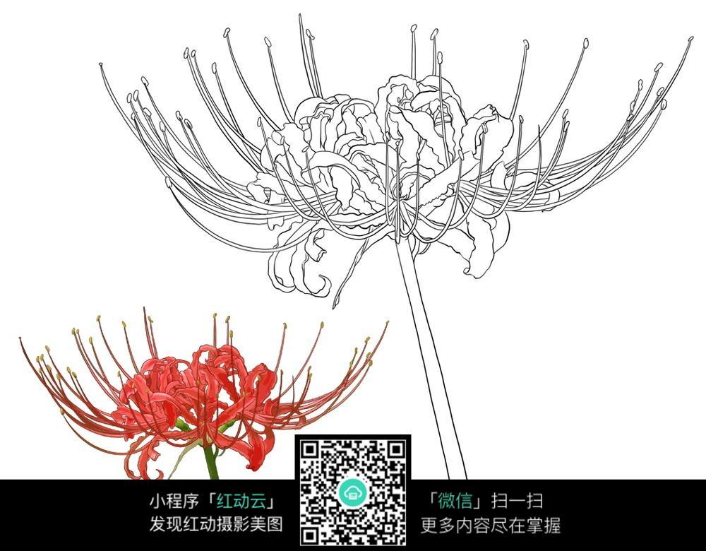 人物绘画  钢笔画  漫画手绘 素材 速写 涂鸦  写生 曼珠沙华花卉