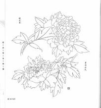 牡丹花开写生手绘线描