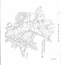 牡丹花写生构成线描