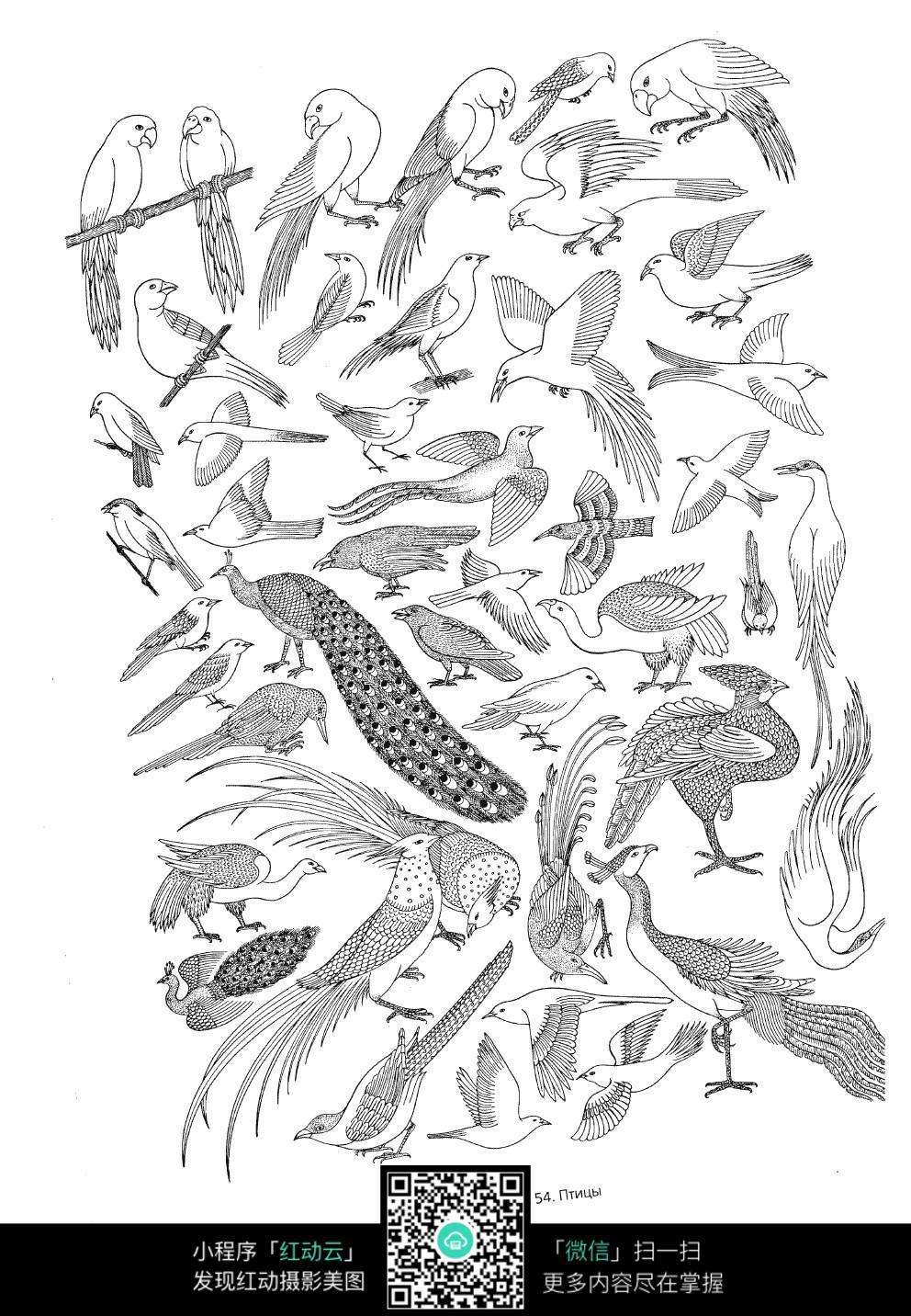 鸟类孔雀手绘线描图形