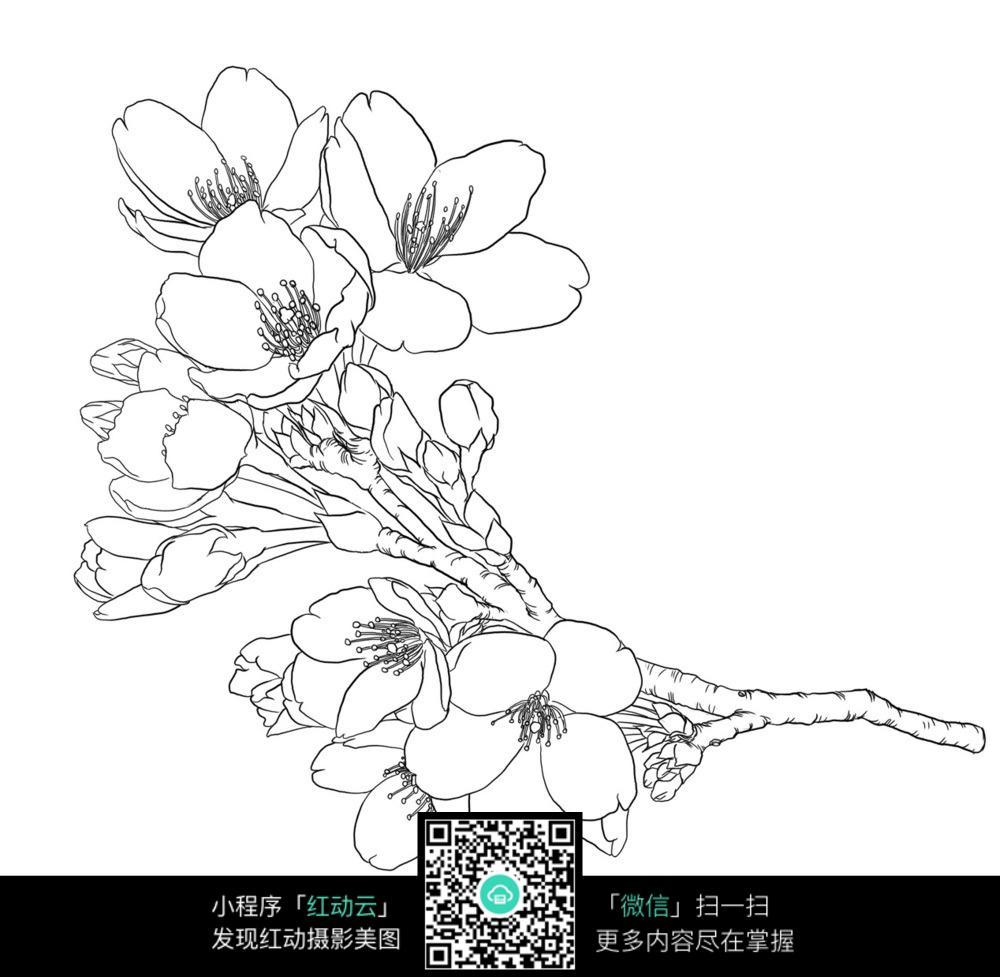漂亮的樱花手绘线描稿图片免费下载 编号3698596 红动网图片