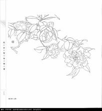 山茶花花卉线描
