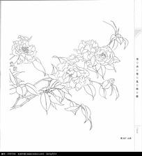 山茶花植物线描