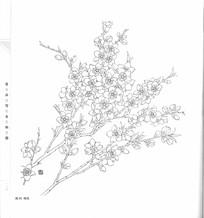 桃花枝条花卉线描