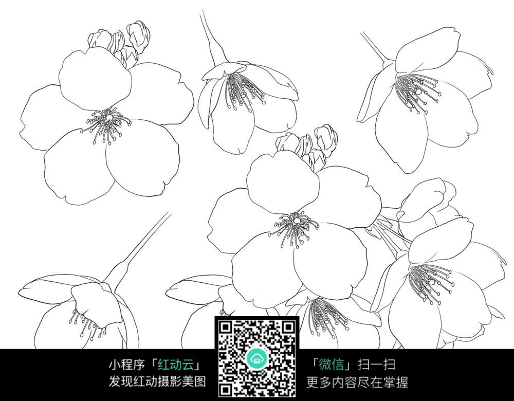 樱花花朵手绘线描稿图片免费下载 编号3698606 红动网图片