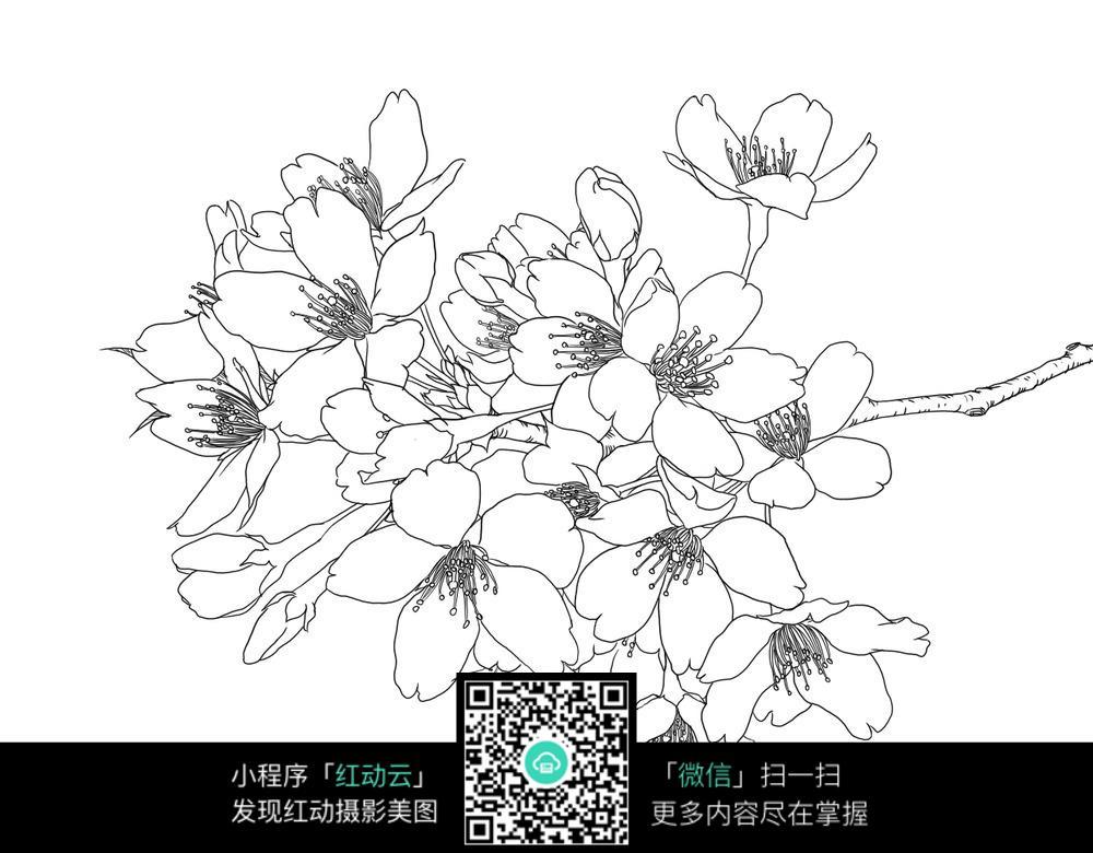 一束樱花手绘线描稿图片免费下载 编号3698598 红动网