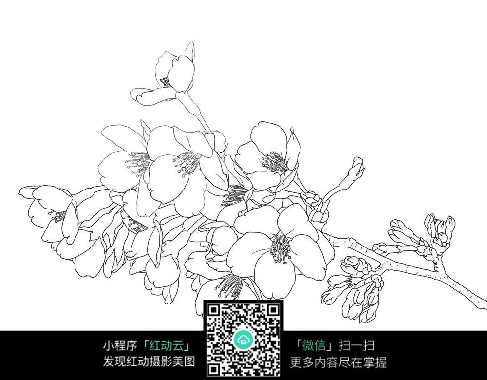 一束樱花手绘线描稿图片免费下载 编号3698608 红动网图片