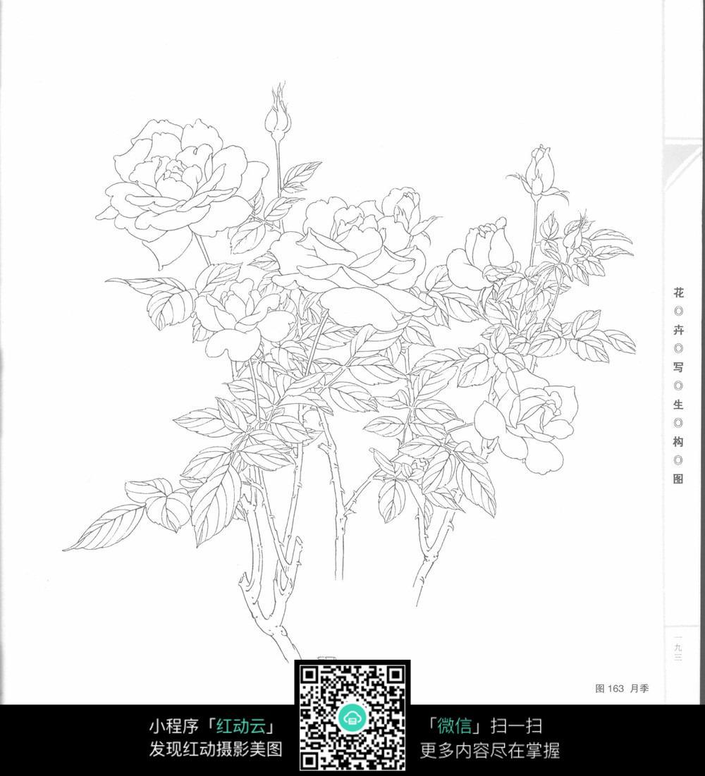 月季手绘图 花卉手绘图